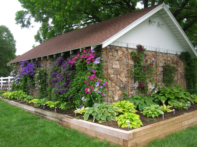 Our neighbor Donald's hosta and clematis garden around an old garage.