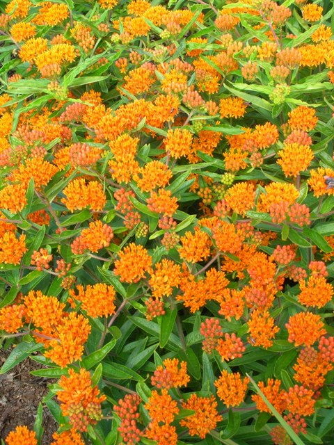A fine example of asclepias, a wonderful Missouri-native perennial for the sun.