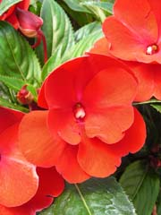 Brightly colored impatiens.