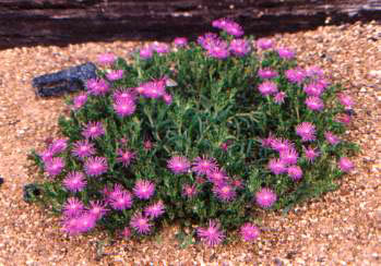 Hilltop farm choice perennials large hot pink flowers adorn this succulents foliage this is a rapid grower forming a low growing mound 36 wide and 8 tall mightylinksfo